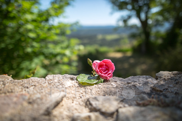 """""""Une rose se repose&<quot;br />Bargème, Provence, 2015"""